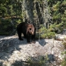 450 lb. cinnamon Black Bear at Silsby