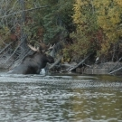 "Bull Moose in the ""Chute"" at Silsby Lake"