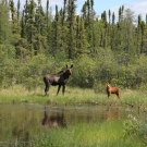 Moose are a common sight at Silsby