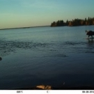 Bull Moose crossing the mouth of the High Hill River on a trail camera