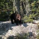 450 lb. cinnamon Black Bear at Silsby