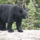 500 lb. Black Bear at Silsby