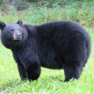 Black Bear at High Hill Lake