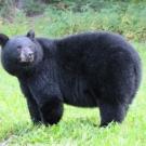 Black Bear at High Hill Lake