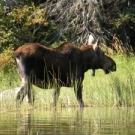 Cow Moose at Silsby