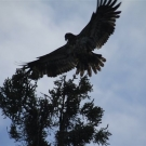 One of many Bald and Golden Eagles at High Hill